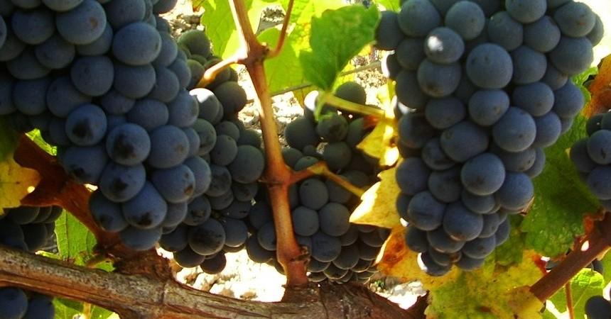 De belles grappes au soleil, nombreuses et joufflues, laisse prévoir une récolte ecxeptionnelle...