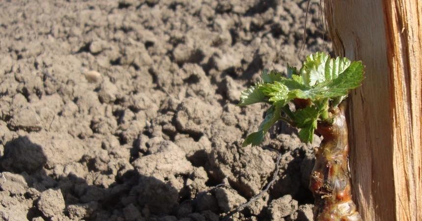 Petit cep de vigne remplira la cuve, si le vigneron lui en montre le chemin !