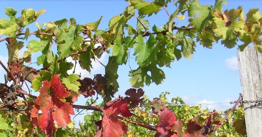 Pour le vigneron, les feuilles sont le visage de la vigne, révélateur de sa santé, de ses carences, de sa souffrance...
