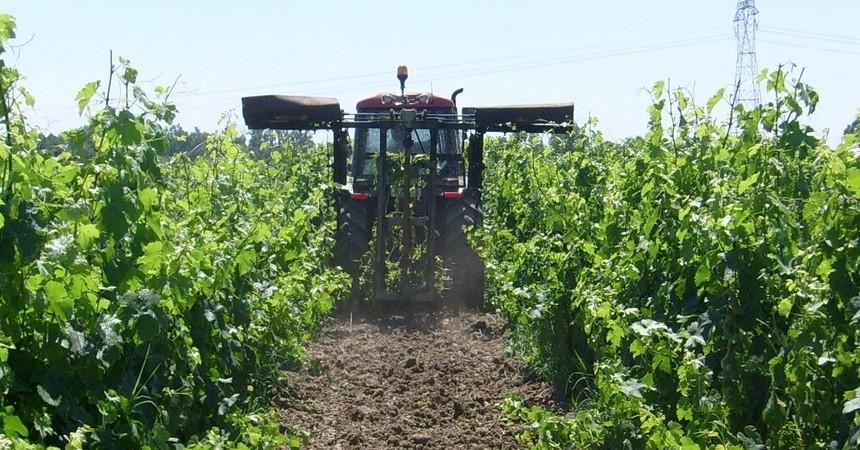 Pour aérer la vigne et permettre un meilleur ensoleillementl le vigneron rogne, et peut-être aussi... grogne !